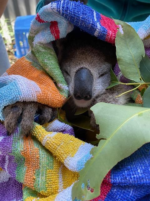 'Nifty Latty' the Koala